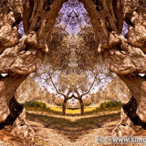 "Photographic Art ""Olive trees of Salento"" 1"