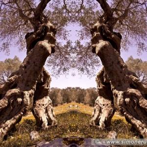"Photographic Art ""Olive trees of Salento"" 3"