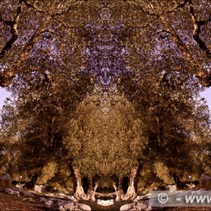 "Photographic Art ""Olive trees of Salento"" 7"